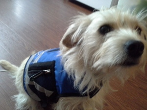 "Small scruffy dog named ""Orca"" or ""Ora"" trying on her new service dog vest"